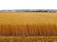 【財經專欄:農業診斷】糧食作物產業