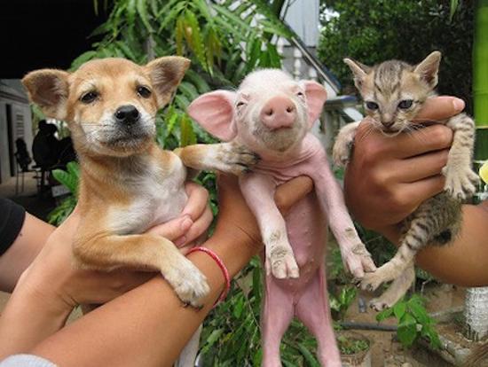 為甚麼我們愛貓愛狗,卻吃豬?