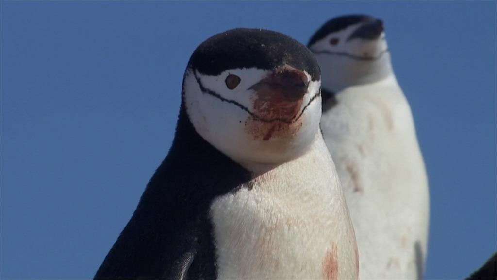 擔憂!南極溫度超過18度 企鵝群體大幅減少
