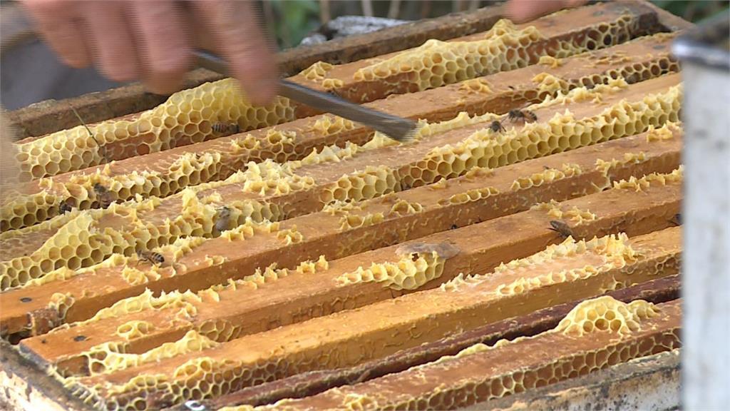 蜂蜜產量不到去年的1/10!農委會補助砂糖費救蜂農