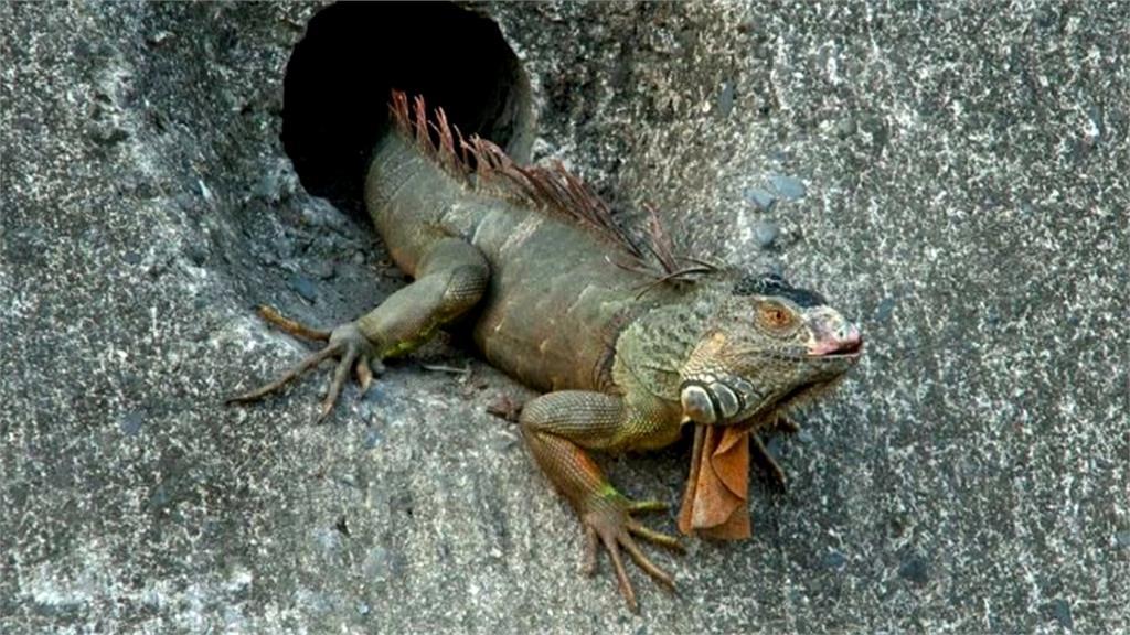綠鬣蜥高雄愛河出沒!恐破壞溝渠影響生態