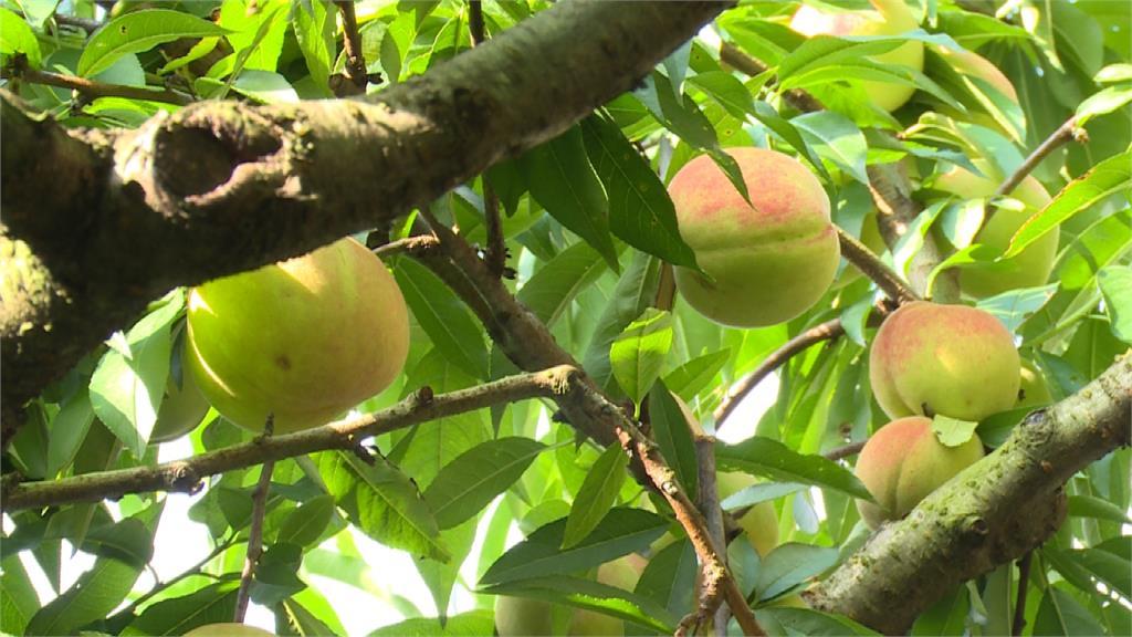 進入盛產期!拉拉山水蜜桃鮮嫩欲滴、甜度更高
