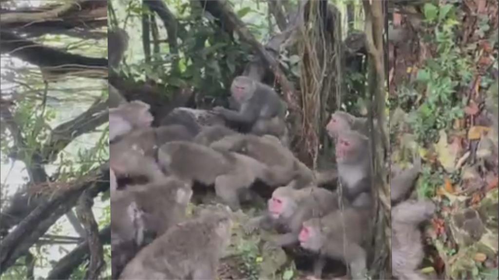 疑爭奪食物糾紛 柴山獼猴「幫派鬥毆」