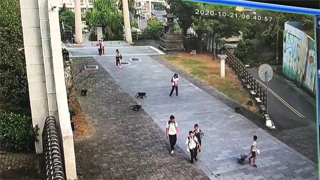太扯! 在猴老大指揮下,猴群攻入校園!學生早餐遭搶
