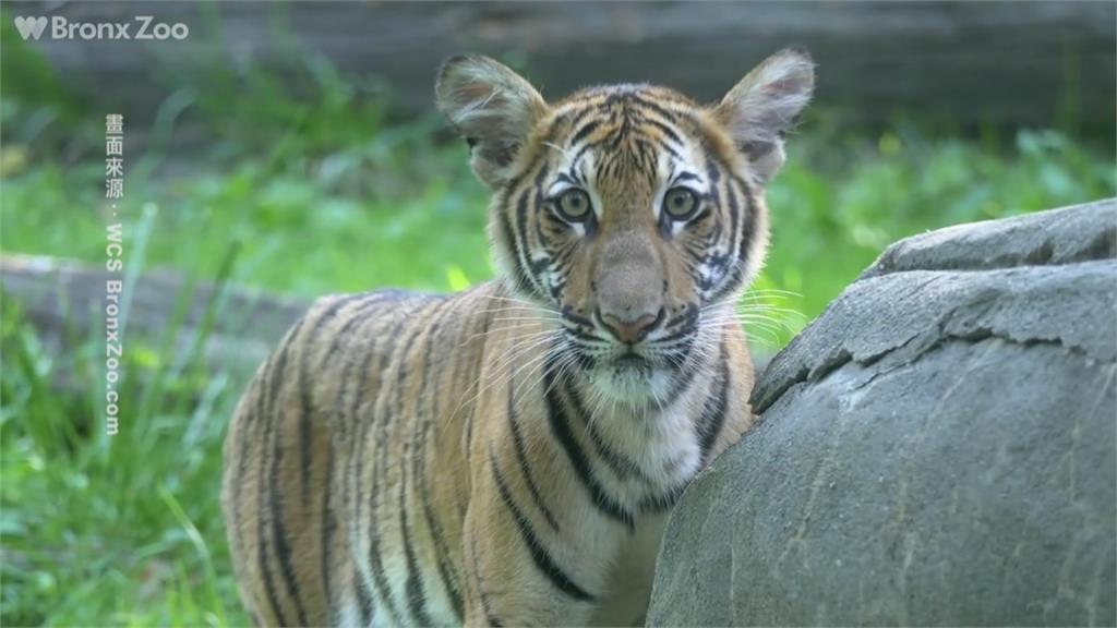 全球第一隻!紐約布朗克斯動物園老虎確診