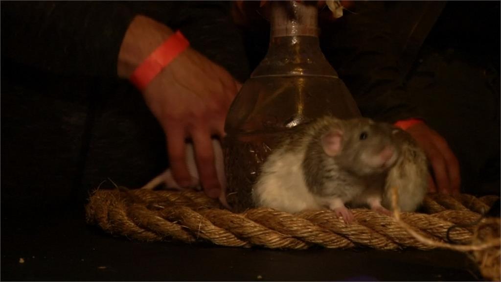 迷你陪酒員!舊金山老鼠酒吧 爬上爬下陪玩