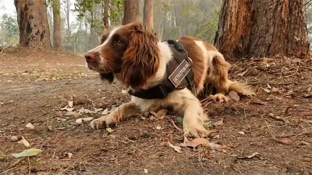 救星!澳洲神犬靠靈敏嗅覺 拯救野火倖存無尾熊