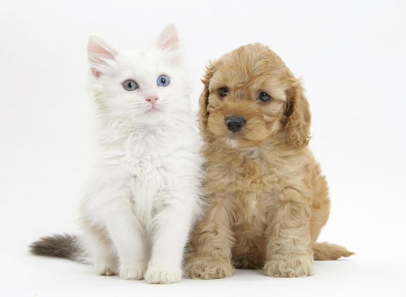 「像狗一樣思考的貓」 布偶貓的神秘身世和牠的商標戰