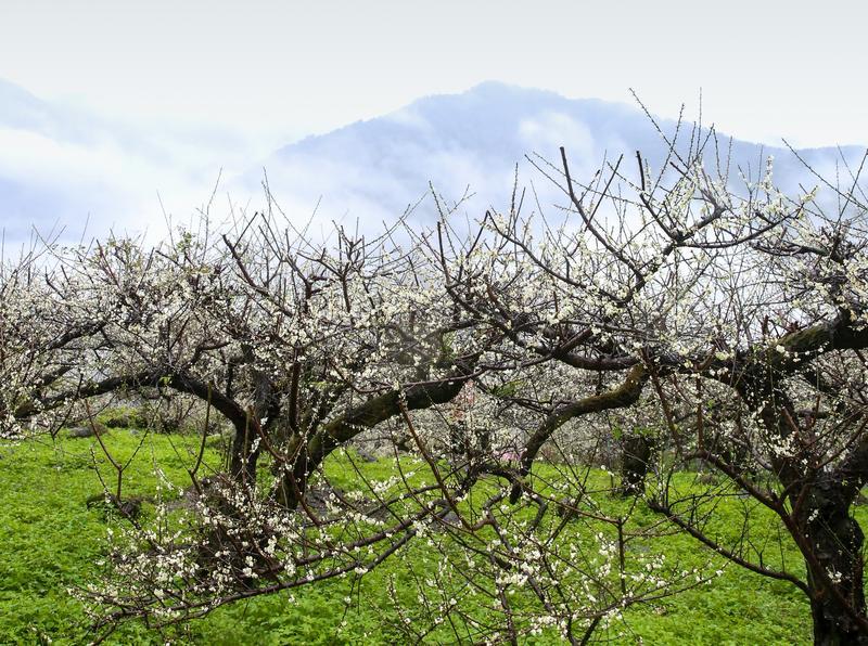 南投祕境梅園 梅櫻樹下喝咖啡